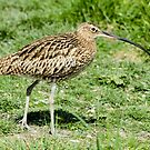 Curlew by Robert Abraham