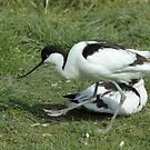 The Avocet by Robert Abraham