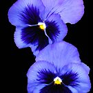 Pretty Pansy Pair by MidnightMelody