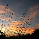 Native grasses by Tim Coleman