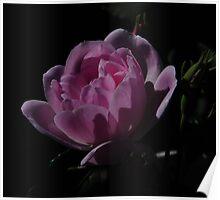Moonlit Rose Poster