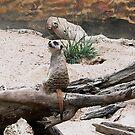 Meerkat sentry Taronga Park Zoo, Sydney by BronReid