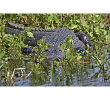 "American Alligator in the ""lettuce"" Photographic Print"