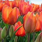 Tulips in Orange by ienemien