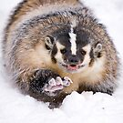 Boxing Badger by mrshutterbug