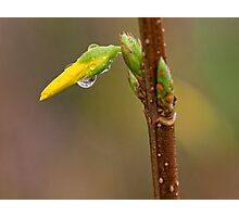 FORSYTHIA BUD AFTER THE RAIN Photographic Print