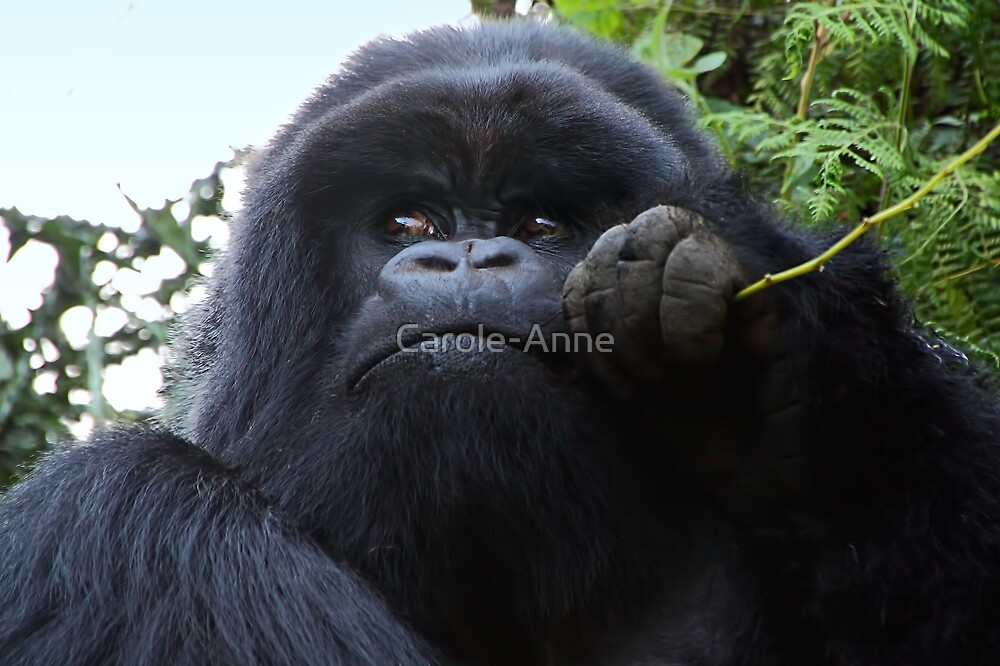 Silverback Gorilla Eating #2, Hirwa Group, Rwanda, East Africa  by Carole-Anne