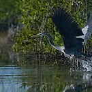 Heron Take Off by JimSanders