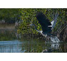 Heron Take Off Photographic Print