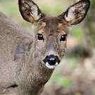 Roe doe by Alan Mattison