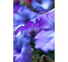 Petunia Photographic Print