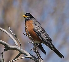 Red is for My Robin Friend by Barb Miller
