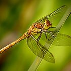 Common darter dragonfly (sympetrum striolatum) by Steve Crompton