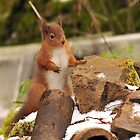 red squirrel  I must get on with my rockery. by Grandalf