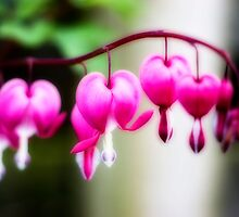 Dicentra spectabilis by mikepom
