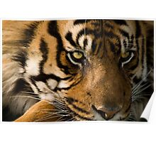 Eye of the  Sumatran Tiger Poster