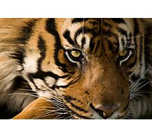 Eye of the  Sumatran Tiger Photographic Print