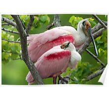 Two Male Roseate Spoonbills Poster