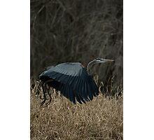 Great Blue Heron in flight Photographic Print