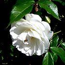 The timeless beauty of a white rose by patjila