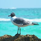 Carribean Gull by Ron Griggs