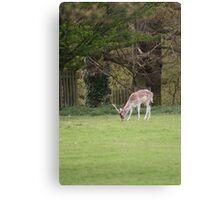 Deer at Dunham 1.5.10  - Eos 20D 85 - 300 lens Canvas Print