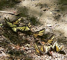 Eastern Tiger Swallowtails by kevint