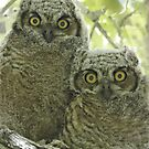 Great Horned Owl Fledglings by tomryan
