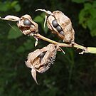 Canna seedpods. by Annabella