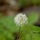 White Baneberry by Mike Oxley