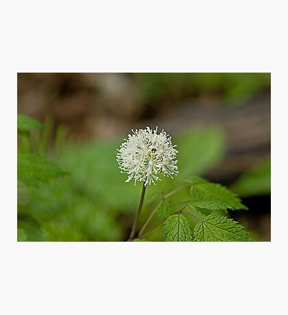 White Baneberry Photographic Print