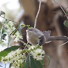 Little Friarbird  by Margaret Stanton