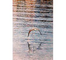 Bird skimming. Photographic Print