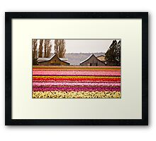 The famous barns at Tuliptown, Skagit Valley, WA Framed Print