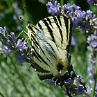 Female Tiger Swallowtail by Louise Brookes