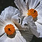 Prickly Poppies by Linda Gregory