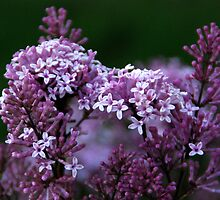 Lilac by Vonnie Murfin