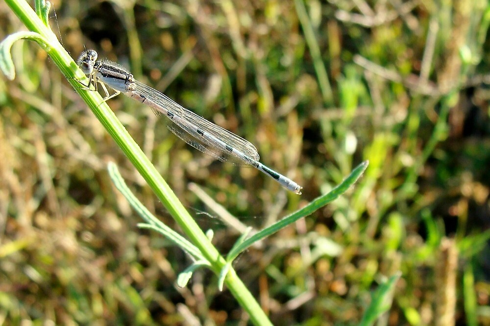Damselfly by catherinemhowl