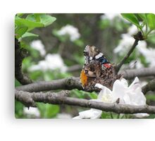 Red Admiral on apple blossoms 1 Canvas Print