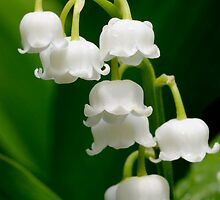 Lily of the Valley (Convallaria majalis) by JimGuy