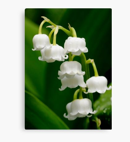 Lily of the Valley (Convallaria majalis) Canvas Print