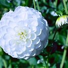 White Dahlia in Summer by Stacey Lynn Payne