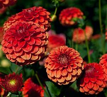 Red and Orange Dahlias against Foliage Background by Stacey Lynn Payne