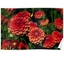 Red and Orange Dahlias against Foliage Background Poster