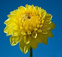 Yellow Dahlia and Blue Sky by Stacey Lynn Payne