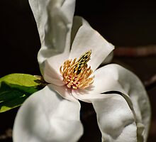 White Magnolia 2 - Central Experimental Farm, Ottawa, ON by Tracey  Dryka