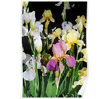 Iris flowers blooming from heirloom bulbs  Poster