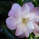 Ethereal Camellia by Tama Blough