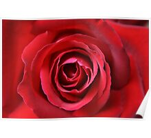 Blooming Rose Flower, Petals - Red Poster