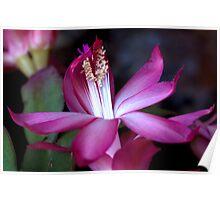 Zygocactus Sunrise Poster